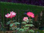 roses4U